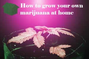 Grow Marijuana at Home